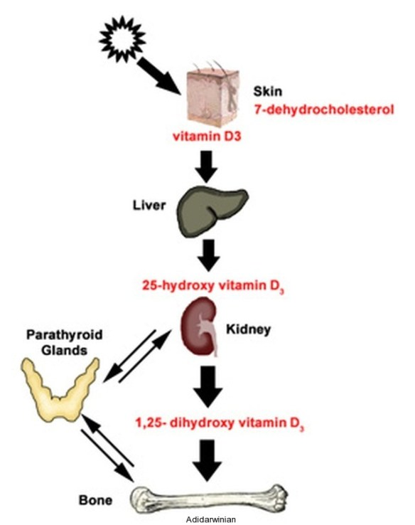 Health and Vitamin D The Vital Connection adidarwinian