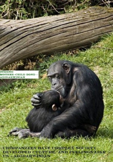 Chimpanzees Have Complex Society, Developed Culture, and Feelings like Us - adidarwinian