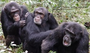 Chimps Need Your Help - adidarwinian