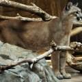 Cougar -adidarwinian