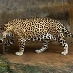 Jaguar - Panthernae - adidarwinian