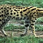 Serval - adidarwinian