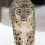 Snow Leopard - Panthernae - adidarwinian