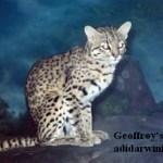 Geoffroy's Cat - addarwinian