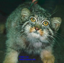 Pallas' Cat - adidarwinian