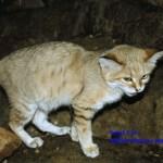 Sand Cat - adidarwinian