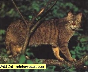 Wild Cat - adidarwinian