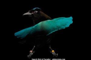 Superb Bird of Paradise - adidarwinian