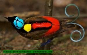 Wilson's bird of paradise - adidarwinian