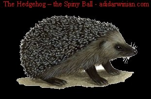 The Hedgehog the Spiny Ball adidarwinian