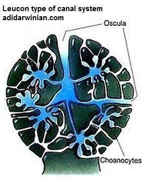 leucon type canal system adidarwinian