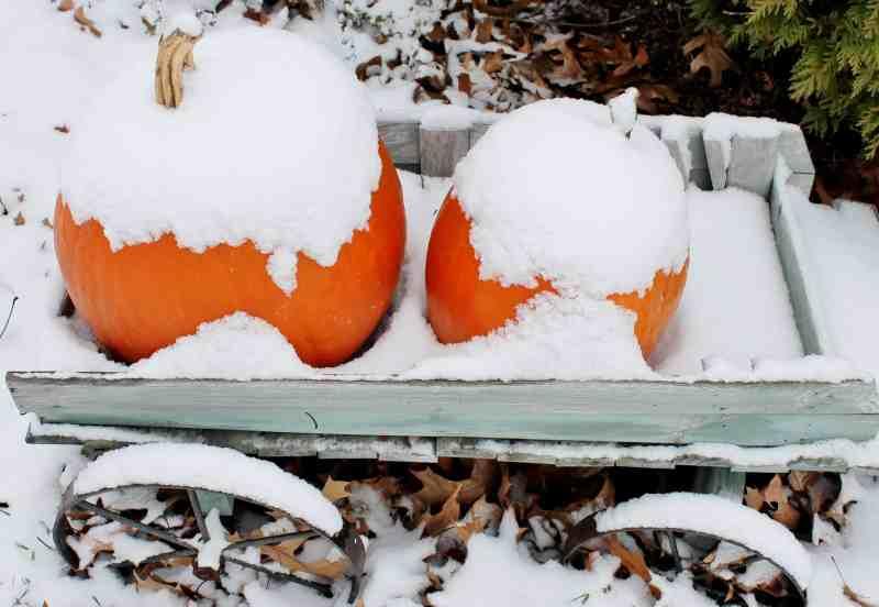 snow covered pumpkins