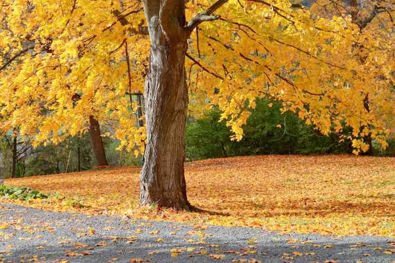 Maple tree, Helderberg Mts Adirondack Girl @ Heart