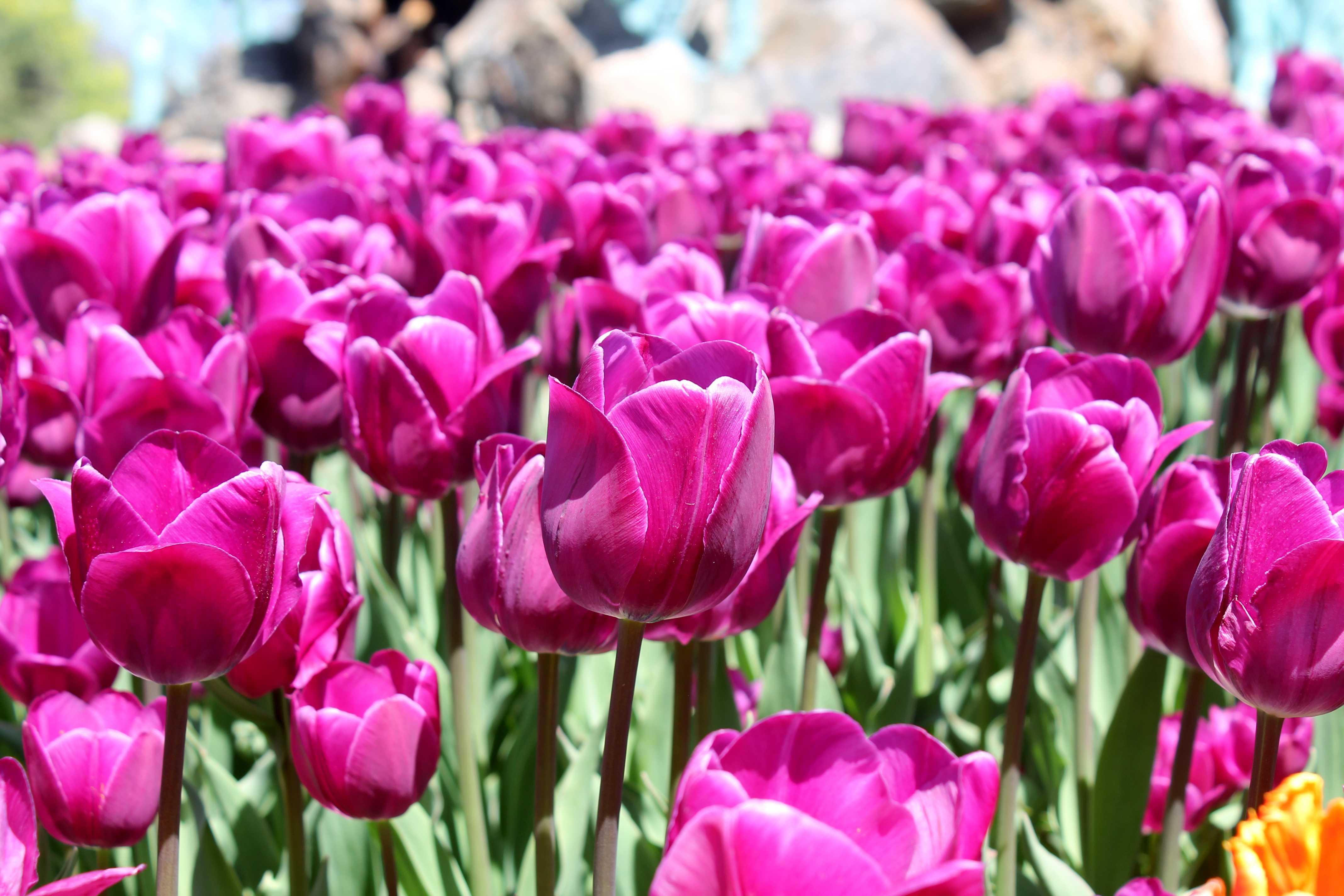 Fuschia Tulips at Albany Tulip Fest