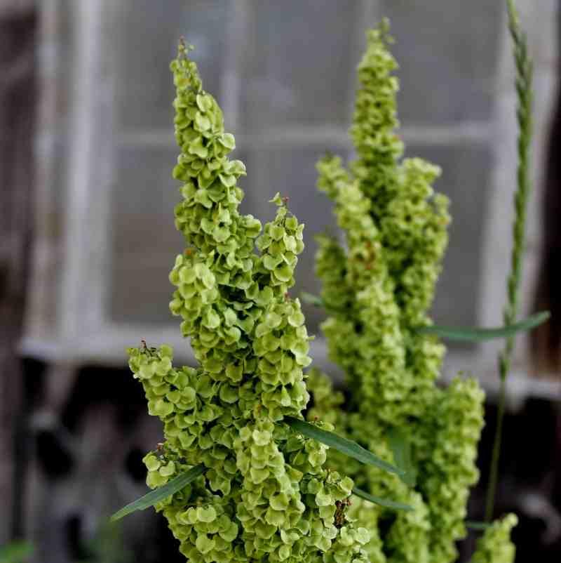 Green stalk against barn