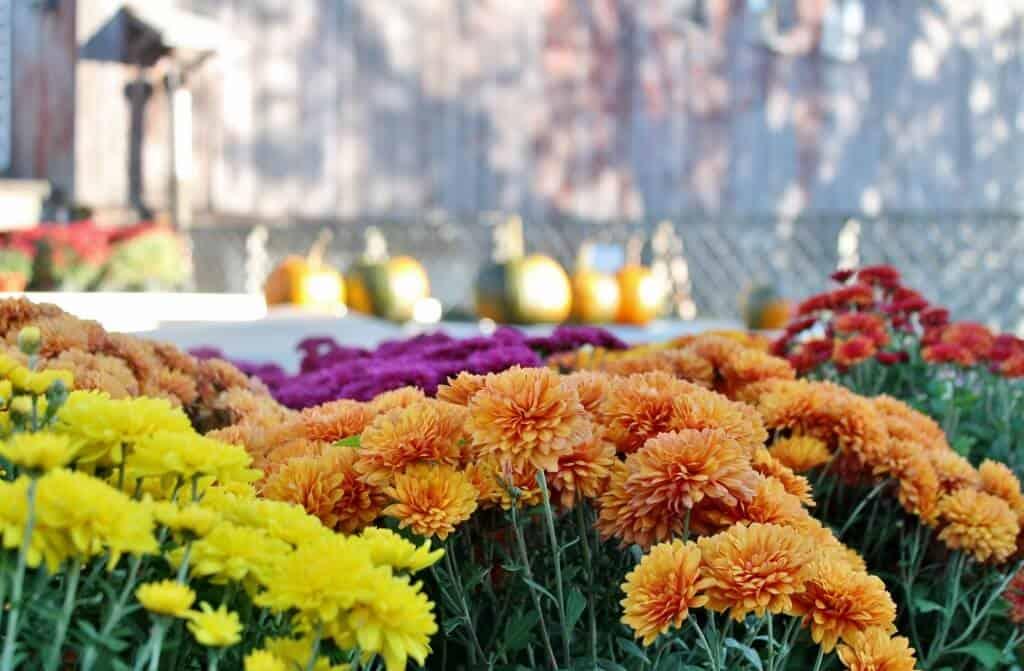 fall mums--orange, purple, and yellow