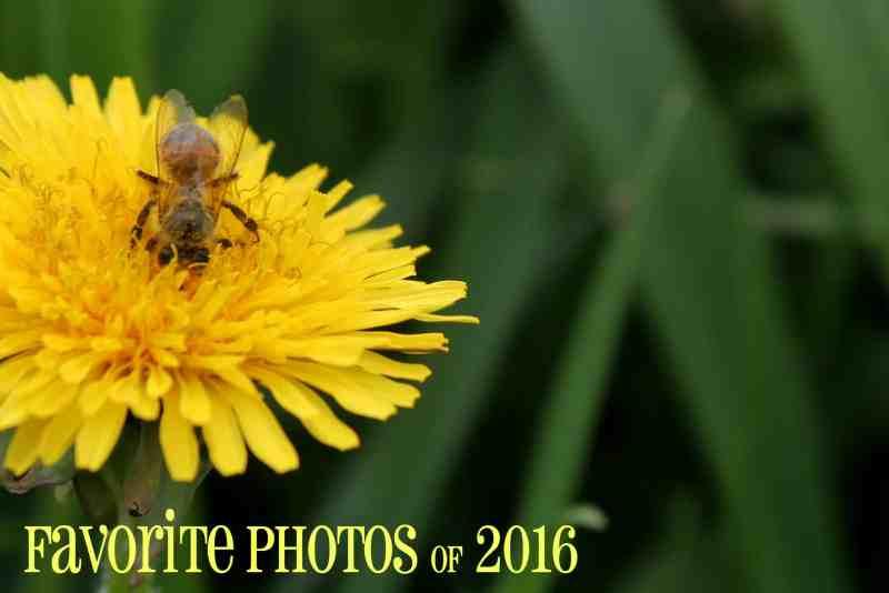 Photo of honey bee on dandilion
