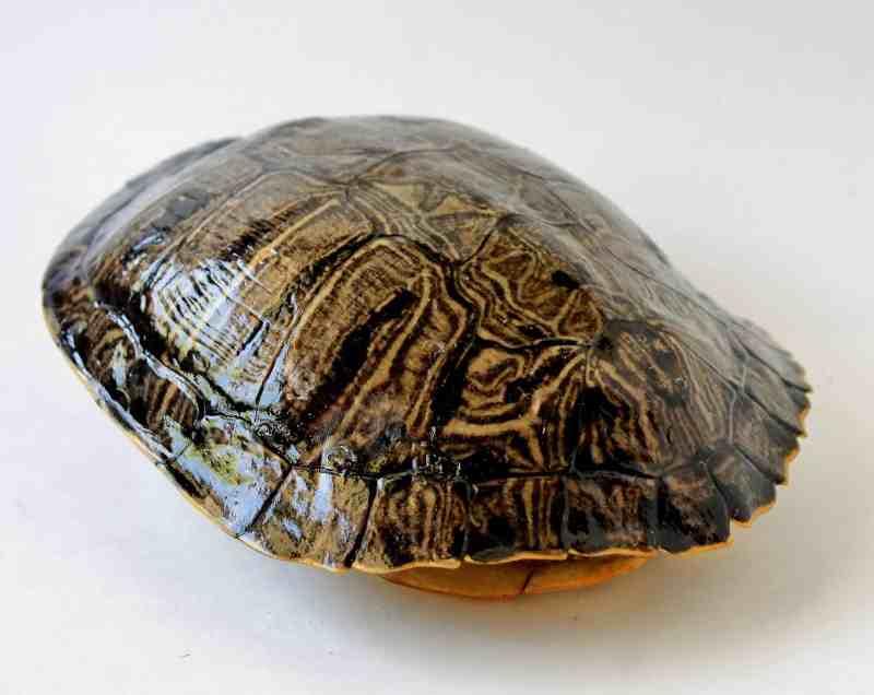 tortoise shell natural history