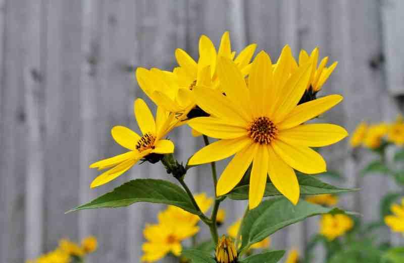 yellow woodland sunflower against gray barn