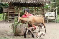 Sri kambing - Aditya Wardhana (4)