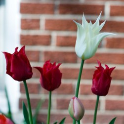 Pointy tulips (latin name)