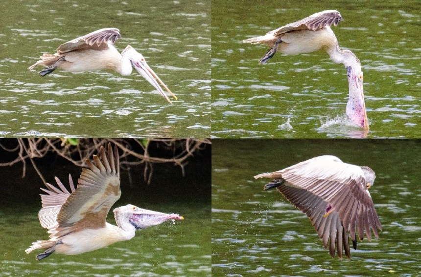 Pelican Water Sequence