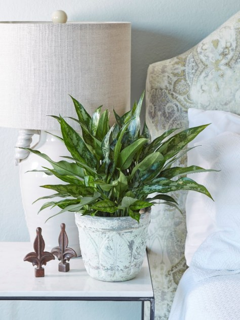 Chinese Evergreen Plants in Bedroom