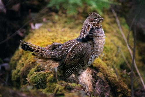 adirondack_grouse_hunting