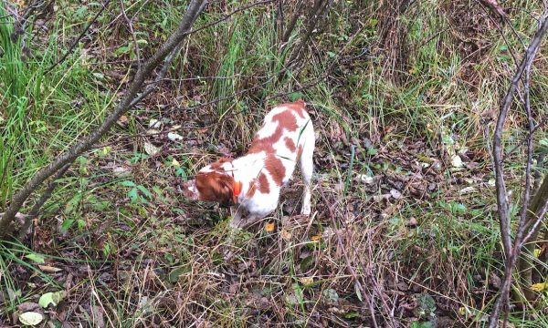 New-York-Hunting-Dog-NY-14
