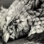 Adirondack-new-york-grouse-woodcock-hunting-north-country-outfitters-6