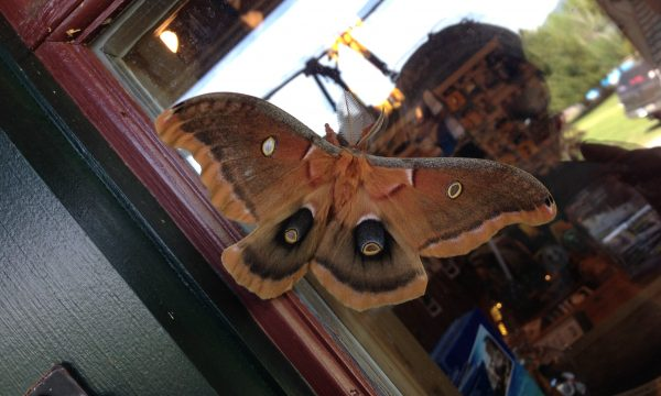 Moth_adirondacks