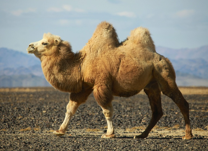 Bactrian Camel Camelus Bactrianus Our Wild World