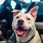 Adopt Nicolette - American Staffordshire Terrier