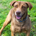 ADL - Adopt Josie - American Staffordshire Terrier