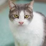 Adopt Keisha - ADL Cat Adoptions
