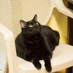 Adopt Thunder - ADL Black Cats