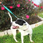 Adopt Navy - American Staffordshire Terrier mix