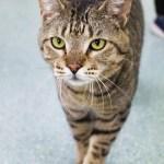 Adopt Dez - Extra Large Tabby Cat
