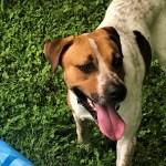 ADL- Adopt Bo - Australian Cattle Dog