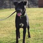 Adopt Sawyer - Labrador Retriever Terrier mix