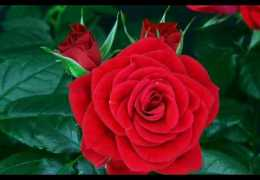 Red rose blooming (A gift for alv's fans)