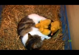 The Cat & The Ducklings