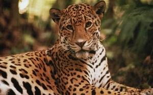 jaguar16oc