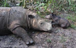 bebe rinoceronte