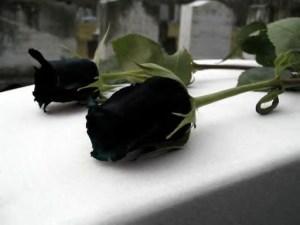 rosa luto negra