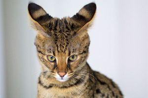 gato-ashera-1