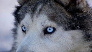 Huskies-Siberianos-1021x580