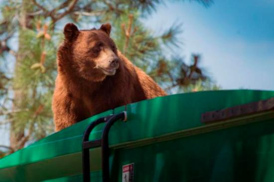 Bear hitchhiking on Los Alamos garbage truck (Source: Evan Welsch via Albuquerque Journal)