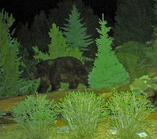 Neighborhood Bear Walking (Source: Richard Andre)
