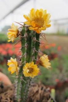 Baby cactus flowers